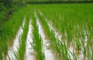 CBN okays compensation for 500,000 rice farmers affected by flood
