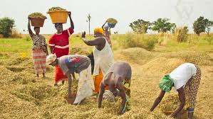 Anchor borrower: Zenith Bank expresses worry over farmers' attitude to loan repayment