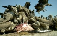 Stop using vultures for medicine, NCF urges Trado-medicine practitioners